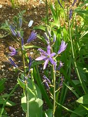 Camassia 'Caerulea' (Jörg Paul Kaspari) Tags: trier garten frühling spring camassia prärielilie blüte flower camassialeichtliniicaerulea bulb zwiebelpflanze blaue
