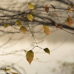 Au coeur de l'automne -* (Titole) Tags: squareformat leaves branch titole nicolefaton thechallengefactory