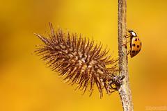Autumn Colour (Vie Lipowski) Tags: ladybug ladybird ladybeetle insect beetle bug spikyseedpod seedpod spiky weed autumn wildlife nature macro