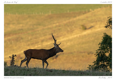 Le brame (BerColly) Tags: france auvergne cantal cerf deer automne autumn bercolly google flickr