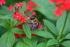 Holiday Bumblebee (npbiffar) Tags: garden outdoor flower plant pentas bumblebee npbiffar macro 150mm d7100 nikon ngc coth5
