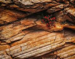 A Plant in Bloom in a Rock Crevice along the Zion-Mt. Carmel Highway, Utah (PhotosToArtByMike) Tags: zionnationalpark plant bloom flower zionmountcarmelhighway mtcarmelhwy utah ut utahhwy9 route9 limestone erosion canyon sheer sandstone cliffs scenic desert goldensandstone rockspires gorge landscape rockformations arid desertlandscape
