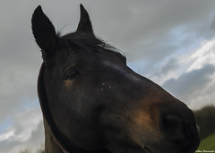 Horse (akatsoulis) Tags: d5300 nikon dx countryside nature portrait horse wales