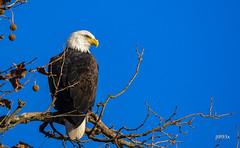 Bald Eagle (jt893x) Tags: 150600mm americanbaldeagle baldeagle bird d500 eagle haliaeetusleucocephalus jt893x nikon nikond500 raptor sigma sigma150600mmf563dgoshsms