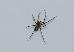 Lepthyphantes minutus (creaturesnapper) Tags: araneae spiders uk europe lepthyphantesminutus