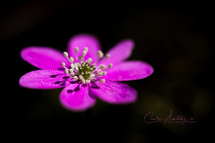 Pink in the forest (CecilieSonstebyPhotography) Tags: bokeh spring blåveis flowers closeup flower ef100mmf28lmacroisusm outdoor canon oslo macro anemonehepatica pink forest petal woods petals april coth5
