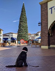 Benni and the Christmas Tree (Bennilover) Tags: christmastree tallest outlets sanclementeoutlets shopping christmas benni dog