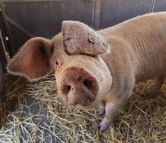 RVR_4897 (RVRFotografie) Tags: pig farm animal