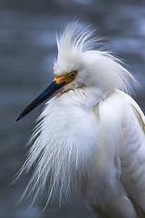 Local Design Instructor (xrayman.dd) Tags: snowy egret birds marshfauna