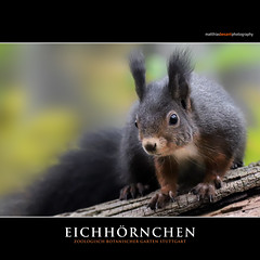 EICHHÖRNCHEN (Matthias Besant) Tags: animal cute nature nagetier klein wildlife small natur braun fell tier niedlich hinterbeine brown fauna grey zoo squirrel little tail gray grau eichhörnchen schwanz hörnchen matthiasbesant deutschland wilhelma