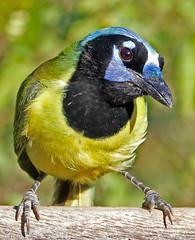 Green Jay (1krispy1) Tags: corvid jay greenjay texasbirds