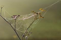 Spiderweb (luporosso) Tags: natura nature naturaleza naturalmente nikon nikonitalia nikond500 rete ragnatela spider spiderweb