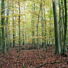 suikonta261119011 (salparadise666) Tags: zeiss ikon super ikonta b 53212 opton tessar 80mm kodak portra 160 nils volkmer folding camera vintage square medium format 6x6 landscape colour wood forest hannover region niedersachsen germany woodland autumn