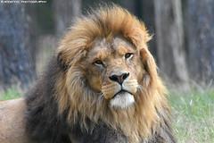 African lion - Safaripark beekse bergen (Mandenno photography) Tags: animal animals dierenpark dierentuin dieren african lion lions leeuw leeuwen bigcat big cat cats zoo safari safaripark park beekse bergen beeksebergen ngc netherlands natgeo nederland natgeographic discovery bbcearth bbc sbb
