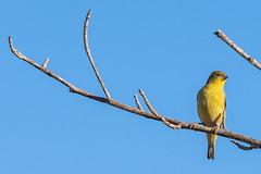Lesser Goldfinch (SCSQ4) Tags: bird birdphotography birds california favorite favoritepicture hummingbirdgarden kennethhahnstaterecreationarea losangeles morning perched lesser goldfinch