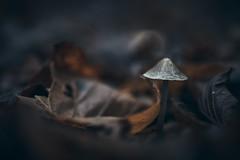 Different lifecycles (micke.vmix) Tags: carlzeiss zeiss d850 makroplanar1002zf makroplanart2100 mushroom