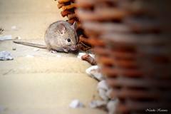 IMG_4252 (natalia.kaszura) Tags: mice mouse animal wildlife wild wildnature wildanimal wicker basket litlle