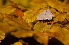 (sylvie337) Tags: détails bois automne feuille