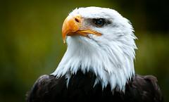 eagle (www.infografiagijon.es) Tags: wwwinfografiagijones infografia gijon astur asturias asturies xixon hernancad canon eos5d markii volar fly flying pajaro ave bird aguila eagle