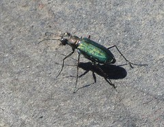 Punctured Tiger Beetle (Bug Eric) Tags: animals wildlife nature outdoors insects bugs beetles tigerbeetles cicindelinae carabidae coleoptera tnc thenatureconservancy lasanimascounty colorado usa puncturedtigerbeetle sidewalktigerbeetle cicindelapunctulata jecanyonranch northamerica september92019