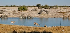 NAMIBIA, Im Etosha-Nationalpark unterwegs, Treff am Wasserloch, N4 /12140 (roba66) Tags: waaserloch nationalpark etoshanationalark roba66 wild wildlife namib namibia tier tiere animal animals creature urlaub reisen travel explore voyages natur nature springböcke zebra tränke wasserloch landschaft landscape paisaje naturalezza faunaroba66 fauna wasser water 2004 afrika africa voyage wilhelma safari