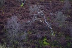 DuskyHillside (Tony Tooth) Tags: nikon d600 nikkor 105mm tree bracken hillside november dusk twilight gradbach staffs staffordshire staffordshiremoorlands moody england