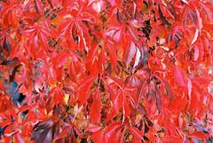 Red vine leaves (mkk707) Tags: film 35mmfilm analog konicaiiia hexanon1850mm kodakektar100 wwwmeinfilmlabde rangefinder vintagelens vintagefilmcamera autumn foliage red herbstlaub