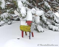 November 26, 2019 - A snowy moose in Thornton. (ThorntonWeather.com)