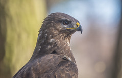 Egerészölyv (Buteo buteo) (Torok_Bea) Tags: buteobuteo egerészölyv ölyv beautiful bird wonderful wildanimal nikon nikond7200 natur nationalpark fantastic awesome amazing animals buzzard commonbuzzard wildlife wildbird tamron tamron150600 nature birds forest erdő november
