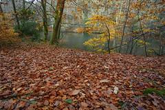 Autumn Leaves @ Waggoners Wells (Adam Swaine) Tags: leave trees leaf autumn autumncolours autumnviews lakes seasons canon naturelovers nature nationaltrust hants beautiful britain british england english adamswaine water waterside walks uk ukcounties rural 2019