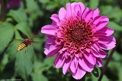 dahlia Bouton Lilas (LLD photographie) Tags: dahliaboutonlilas dahlia jardin fleur botanique nature fleuravecinsecte insecte