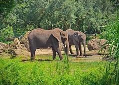 """""""Hup, two, three, four"""" (janedoe.notts) Tags: animal animalkingdom elephant nature disney waltdisneyworld zoo olympus omd em10markii 12100 florida unitedstates usa"""