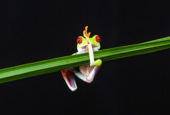 Red Eyed Tree Frog. (SteveCrowhurst 2011) Tags: reptileencounters southendonsea essex redeye frog mexico centralamerica columbia colourful textures rainforest bright exposure detail