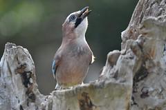 geai des chênes / Garrulus glandarius 19E_6090o (Bernard Fabbro) Tags: garrulus glandarius geai des chênes oiseau bird eurasian jay