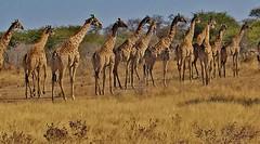 NAMIBIA, Im Etosha-Nationalpark unterwegs, Giraffen im Gänsearsch zum Wasserloch,  N8/12144 (roba66) Tags: giraffen nationalpark etoshanationalark roba66 wild wildlife namib namibia tier tiere animal animals creature urlaub reisen travel explore voyages natur nature etosha landschaft landscape paisaje naturalezza faunaroba66 fauna 2004 afrika africa voyage wilhelma safari