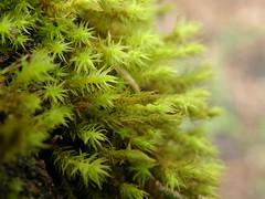 Orthotrichum lyellii (EmilieAncolie) Tags: bryophytes mosses mousses moss flora flore orthotrichum nature biodiversité