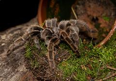 Chilean Rose Tarantula. (SteveCrowhurst 2011) Tags: reptileencounters spiders hairy southendonsea essex flowerpot moss bark