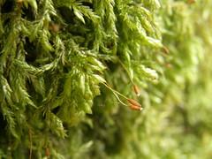 Isothecium alopecuroides (EmilieAncolie) Tags: bryophytes moss mousses mosses musgos nature flore flora biodiversité