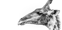 Giraffe in profile B&W (Sheldrickfalls) Tags: giraffe kameelperd kuduprivatenaturereserve kuduranch kudugameranch mpumalanga lydenburg