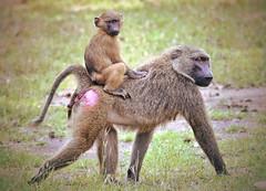 Baboon mother carrying infant on her back! (Nina_Ali) Tags: baboon baboonmotherandinfant monkey primate wildlife animals nature ghana africa fauna ninaali