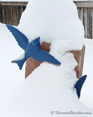 November 26, 2019 - Bluebirds in the snow. (ThorntonWeather.com)