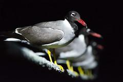 NIK_5346_1 (Mgungen) Tags: seagulls redsea seagull nature highiso nikon105mm nikon d7100 nikond7100 night liveaboard emperorsuperior liveaboarddiving emperordivers selectivefocus bluffpoint