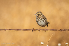Savannah Sparrow (Bob Gunderson) Tags: birds california centralvalley northerncalifornia passerculussandwichensis robinsonroad savannahsparrow solanocounty sparrows sparrowsjuncostowhees