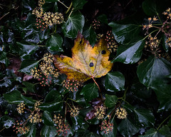 Autumn (Allan Rostron) Tags: york autumn leaves ivy hedera