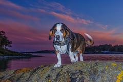 "IMGP7624-Edit (jarle.kvam) Tags: furbaby dof drever hound sunset wanja norway raetnationalpark ""pentaxflickraward"""