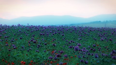 Purple (?) Carpet (endresárvári) Tags: canon flower plant nature landscape poppy gardenpoppy poppyfield field spring blue purple hill mountain green flora hungary hungarian