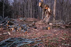 Lost Memories (Anymouse02) Tags: old tree falling maple sugar leaning laughter children fun end time