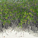 Mangroves on the sand
