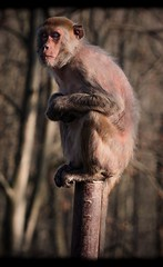 Sleepy Sentinel (Sony Selp18105G) (gyulaiván) Tags: sony selp18105g monkey zoo miskolc vadaspark glens a6500