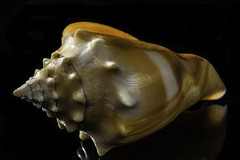 Old Weathered Golden Shell In The Light (Bill Gracey 25 Million Views) Tags: shell seashell weathered old color colorful golden offcameraflash sidelighting perspex yongnuo yongnuorf603n softbox macrolens nature naturalbeauty homestudio blackbackground textures